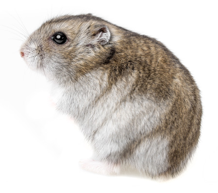 russian hamster: hamster isolated on white background Stock Photo