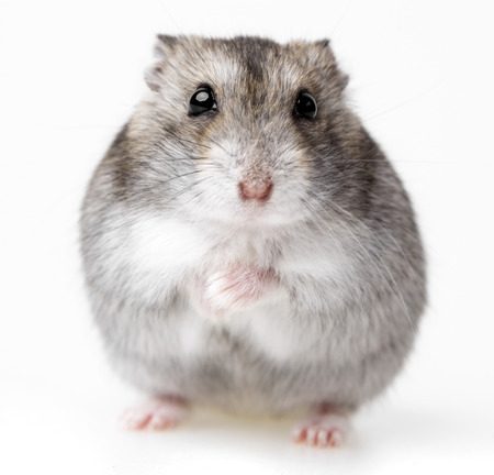 hamster geïsoleerd op witte achtergrond