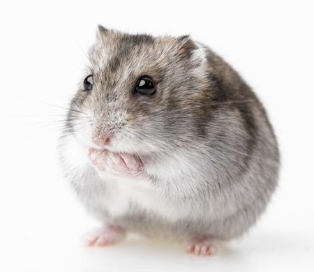 hamster isolated on white background Standard-Bild