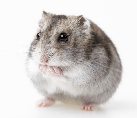 dwarf hamster: hamster isolated on white background Stock Photo