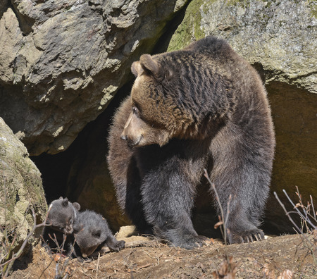 brown bear - mother and cubs Archivio Fotografico