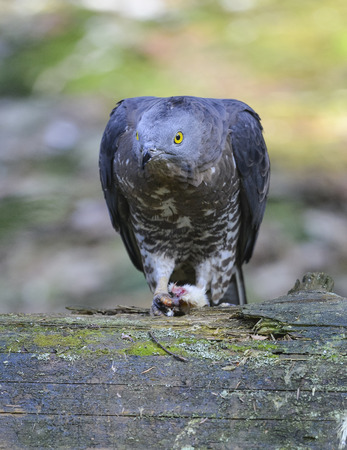 Accipiter nisus, Sparrowhawk photo