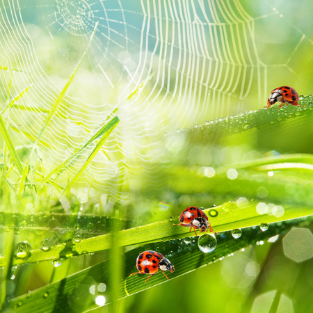 ladybirds between water drops photo