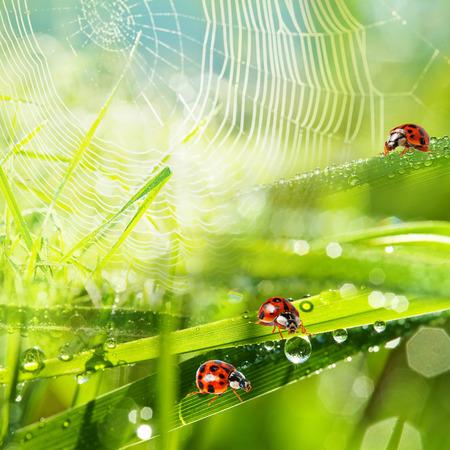 ladybirds between water drops photo