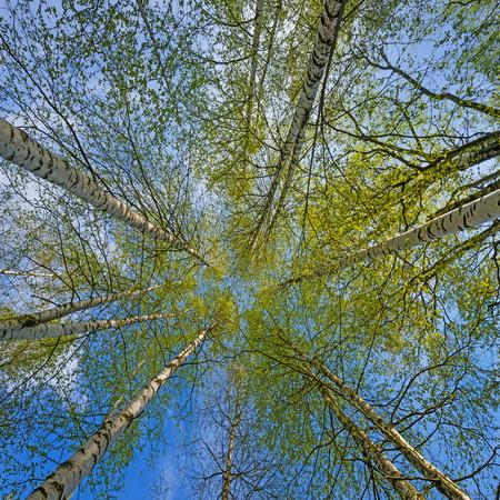 birch trees: spring birch trees