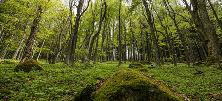 treetops: spring forest Stock Photo