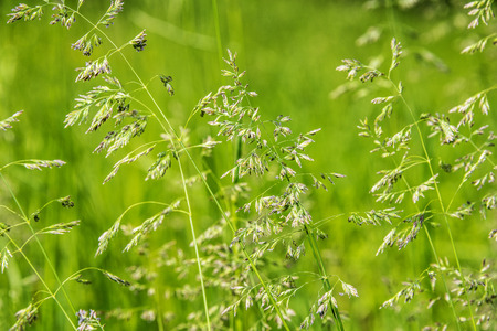 flowering grass in detail Stock Photo