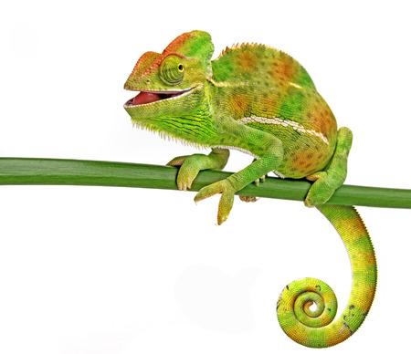 Chamaeleo calyptratus, female, isolated on a white background Standard-Bild