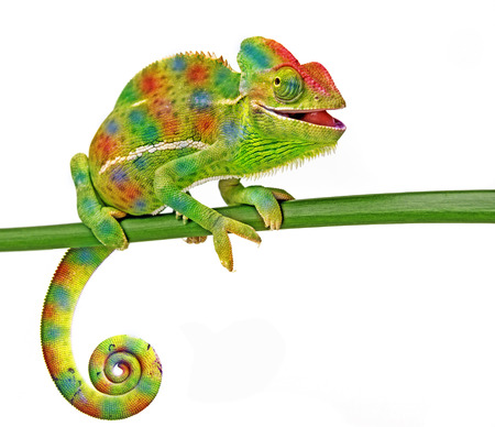 Chamaeleo calyptratus, female, isolated on a white background Stock Photo