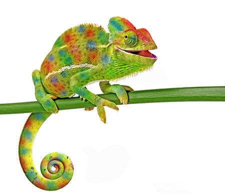 lagarto: Chamaeleo calyptratus, hembra, aislado en un fondo blanco