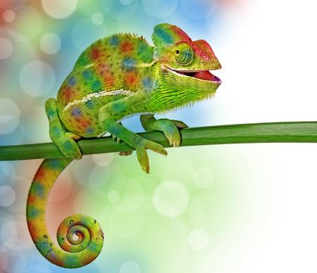 chameleon lizard: Chamaeleo calyptratus, female, isolated on a white background Stock Photo