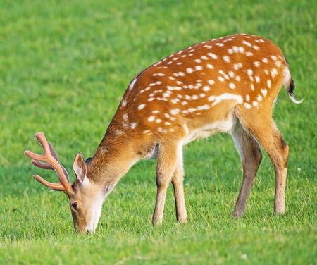 fallow deer: fallow deer on a meadow Stock Photo