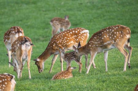 fallow deer: fallow deer - herd on a meadow