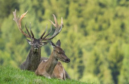 elaphus: Cervus elaphus - deer with his herd Stock Photo