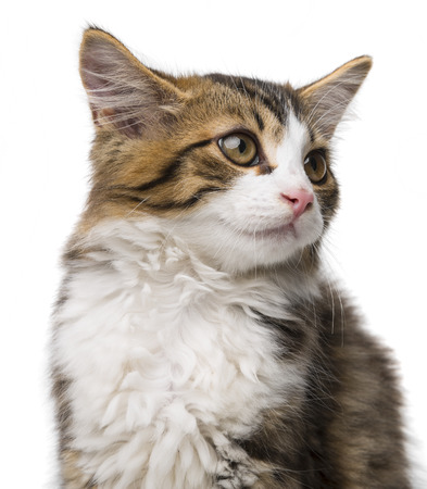 long haired: cute long haired maine cat Stock Photo