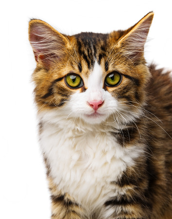 maine cat: lindo gato de pelo largo Maine
