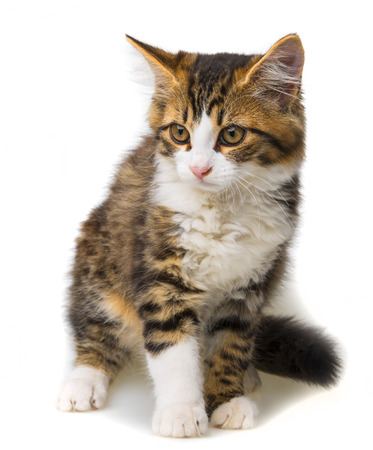long haired: cute little long haired maine cat