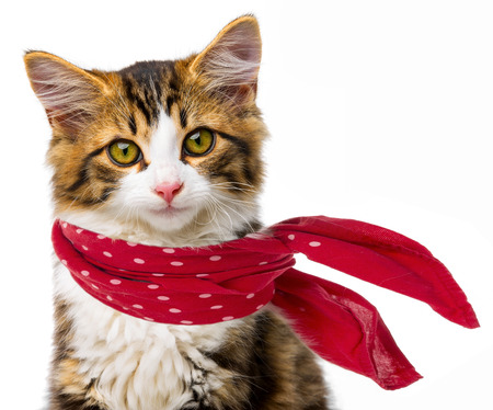 long haired: cute little long haired maine cat with red scarf Stock Photo