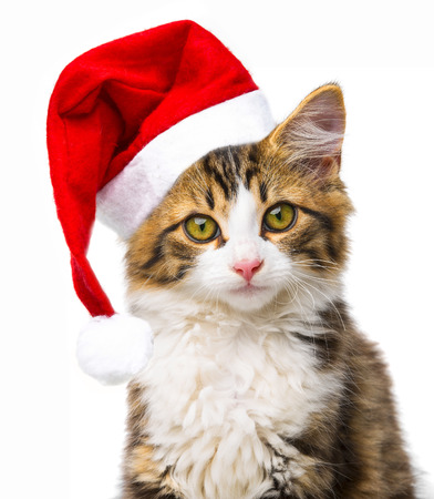 cute little long haired maine cat with santa cap photo