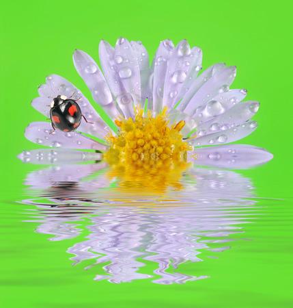 ladybirds on flower photo