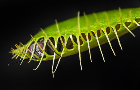 venus flytrap - dionaea muscipula with trapped fly on black