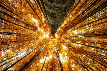 grote beuken in de herfst van hout Stockfoto