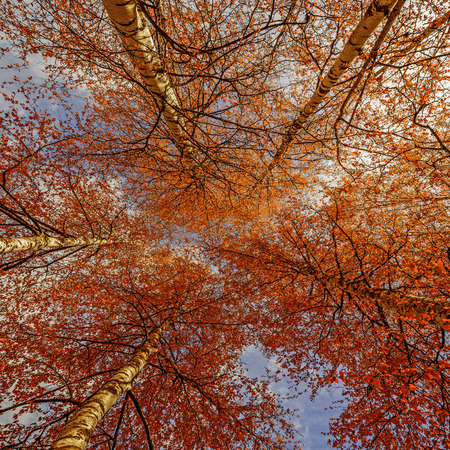birch trees: autumn birch trees Stock Photo