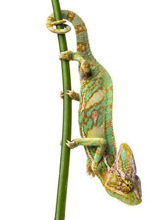 Camaleón verde - Chamaeleo calyptratus - macho en una rama Foto de archivo - 31217572