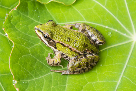 rana esculenta - common european green frog on a dewy leaf photo