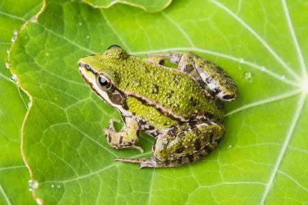 rana esculenta - common european green frog on a dewy leaf photo