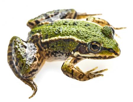 rana esculenta - common european green frog photo