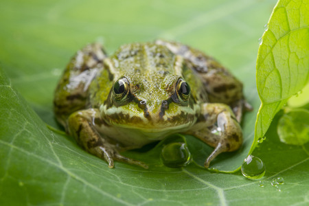 Pelophylax esculentus - common european green frog on a dewy leaf photo