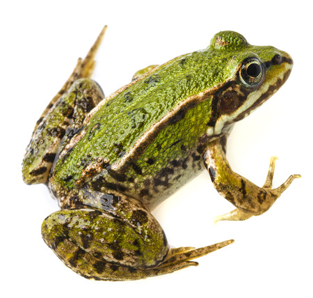 rana esculenta - common european green frog photo