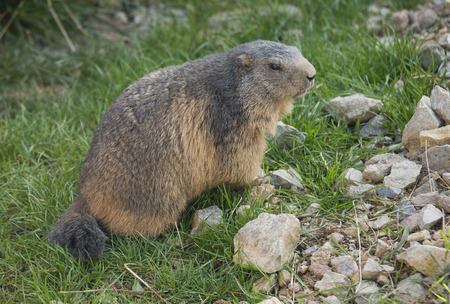 marmot on a medow photo
