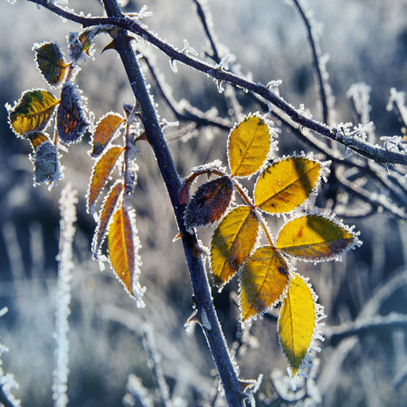 leaves covered with ice crystals photo