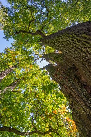 centenarian: old oak trees