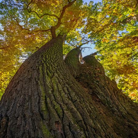 centenarian: old oak trees in autumn