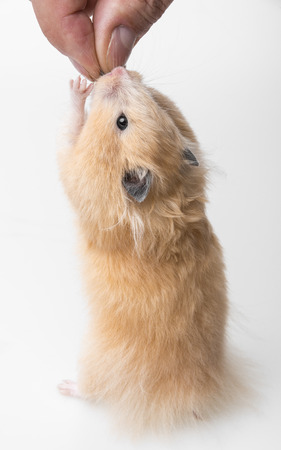 a cute little hamster on white background photo
