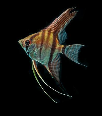 Angelfish isolated on black background photo