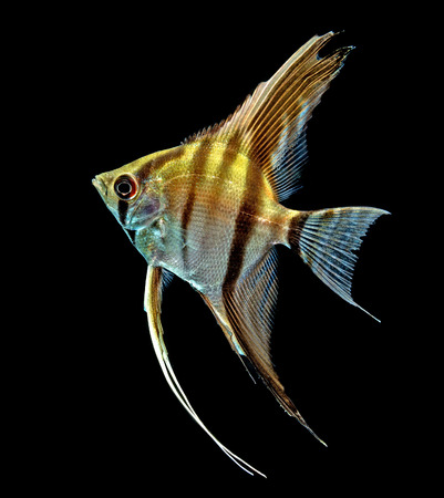Angelfish (Pterophyllum scalare) isolated on black background photo