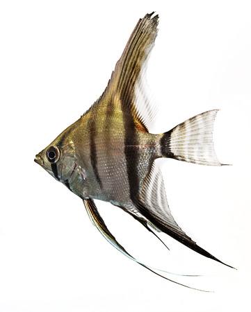 Angelfish (Pterophyllum scalare) isolated on white background