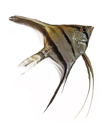 pterophyllum scalare: Angelfish (Pterophyllum scalare) isolated on white background