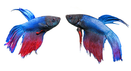 r image: Betta splendens - peces luchadores siameses