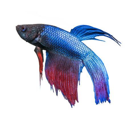 Betta splendens - siamese fighting fish photo