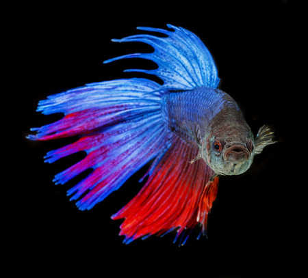 Betta splendens - siamese fighting fish on a black background photo