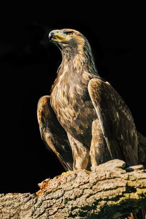 aquila: Aquila chrysaetos eagle