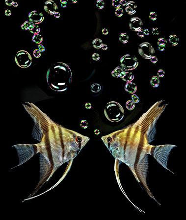 Angelfish (Pterophyllum scalare) isolated on black background photo