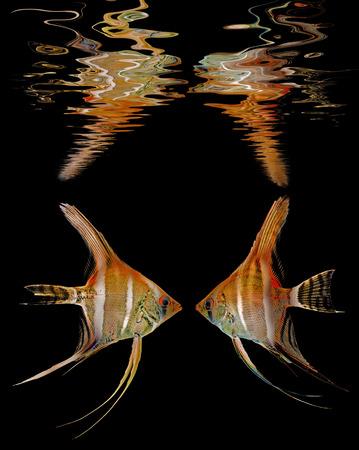 Angelfish (Pterophyllum scalare) isolated on white background photo