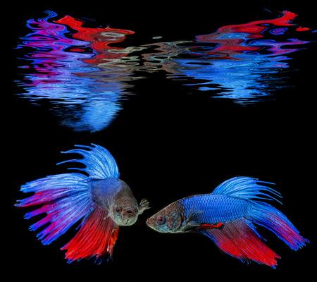 Betta splendens - siamese fighting fish on a black background photo