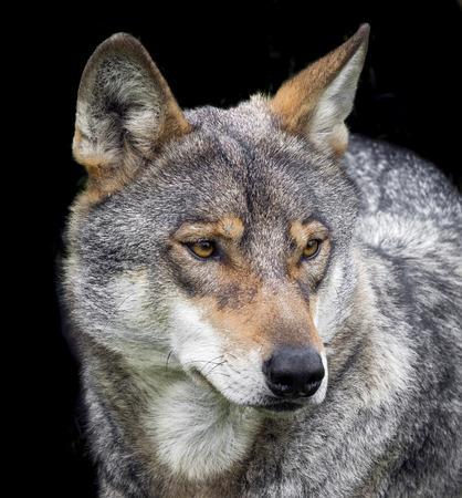 wolf portrait photo